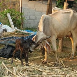 baby cow 3