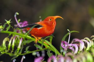 hawaaian-forest-bird