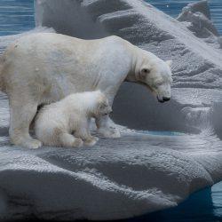 polar-bear-709682_640