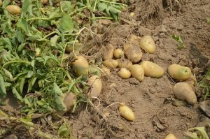 potato-373822_640